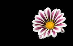 White and pink flower isolated on black background Royalty Free Stock Images