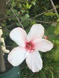 White and pink flower Royalty Free Stock Photos