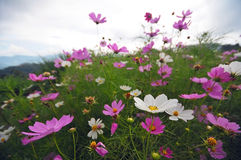 White and pink flower in the mountain Royalty Free Stock Photography