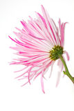 White and pink flower. Shown with green stem on white background Royalty Free Stock Photography