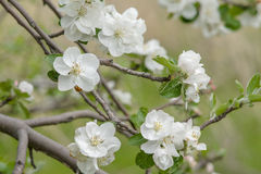 White and pink flowers of an apple tree Royalty Free Stock Image