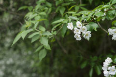 White and pink flowers of an apple tree Royalty Free Stock Photos