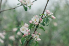 White and pink flowers of an apple tree Stock Photo