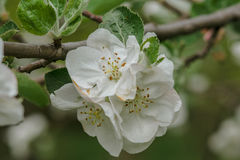 White and pink flowers of an apple tree Royalty Free Stock Photography