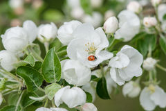 White and pink flowers of an apple tree. Among foliage Stock Image