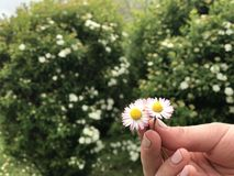Chamomile in hand among the green stock photos