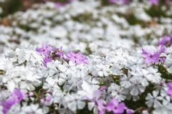 White and Pink Flowers at Botanic Garden in Blue Mountains. White garden bed flowers on a blurred background at the Spring Festival at Mount Tomah Botanic Garden Stock Images