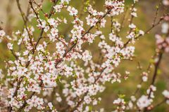 White with pink flowers of the cherry blossoms on a spring day in the park stock photos