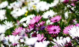 White and pink flowers close up Royalty Free Stock Images