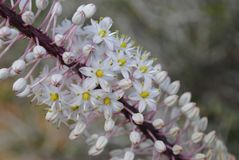 White pink flowers of Drimia maritima stock image