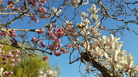 White and pink flowers on magnolia tree Royalty Free Stock Image