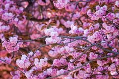 White-pink flowers of a nut tree. Nearby with Cathedrale Notre-Dame de Paris. Paris. France Royalty Free Stock Images