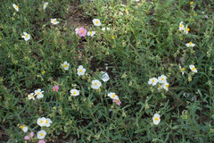 White and pink flowers of rock rose. In spring Stock Photo