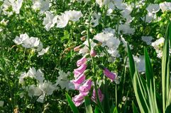Flowers in the garden. White and pink flowers in the sunny garden Stock Photography