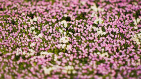 White and pink flowers Royalty Free Stock Images