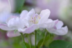 White pink flowers on a tree close-up royalty free stock images