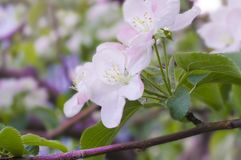 White pink flowers on a tree close-up. Branch of a flowering tree close-up Stock Photos