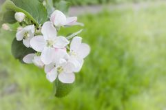 White pink flowers on a tree close-up. Branch of a flowering tree close-up Royalty Free Stock Photography