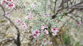 White - pink flowers trees. Beautiful spring flower.  stock video