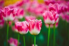 White And Pink Flowers Tulips In Spring Garden Royalty Free Stock Images