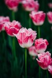 White And Pink Flowers Tulips In Spring Garden Royalty Free Stock Image