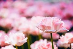White And Pink Flowers Tulips In Spring Garden Stock Photos