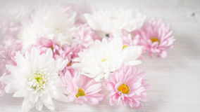 White and pink flowers on the white background horizontal Stock Images