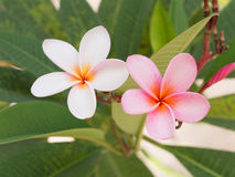 White and pink frangipani Flower. Tropical flower stock photo