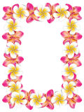 White and pink frangipani flowers frame. Floral frame made from white and pink plumeria, frangipani flowers Royalty Free Stock Photos