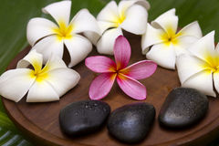 White/pink frangipani. With spa concept Royalty Free Stock Image