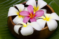 White/pink frangipani Stock Photography