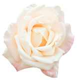White and pink fresh rose flower close up isolated Royalty Free Stock Photo