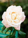 White and pink fresh rose flower close up Royalty Free Stock Image