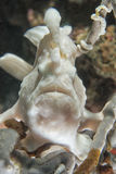 White pink frog fish portrait stock images