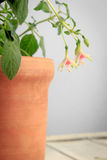 White and pink fuchsia in brown clay pot on white background.  Royalty Free Stock Photo