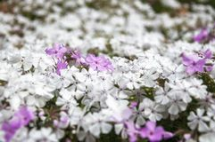 White and pink garden bed flowers. In selective focus on a blurred background at the Spring Festival at Mount Tomah Botanic Garden in the Blue Mountains, New stock image