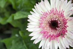 White and Pink Gerbera flower, genus of Asteraceae or daisy family, Maharashtra, India.  stock photos