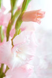 White pink gladiolus. In soft natural lighting royalty free stock images