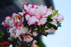 White And Pink Hibiscus Flowers Stock Photography