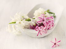 White and pink hyacinth flowers .Spa setting Royalty Free Stock Image