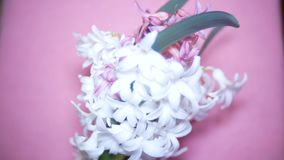White and pink hyacinths on a colored background. 4k,. White and pink hyacinths on a colored background. 4k stock video footage