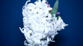 White and pink hyacinths on a colored background. 4k, stock video footage