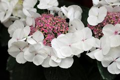 White Pink Hydrangea Hortensia flower Royalty Free Stock Photography