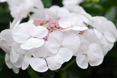 White Pink Hydrangea Hortensia flower Royalty Free Stock Photos