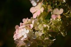 White and Pink Hydrangeas royalty free stock photos