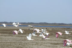 White and Pink Ibis Royalty Free Stock Photos