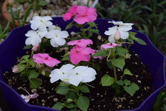 White and pink impatiens. Several little flowering white and pink impatiens royalty free stock image