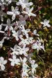 White pink Jasmine flowers bush Royalty Free Stock Photography