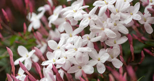 Pink Jasmine (aka White Jasmine) - Jasminum polyanthum, in bloom. Royalty Free Stock Photography