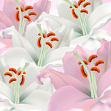 White and pink lilies. On a white background Stock Photos